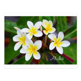 Aloha - Frangipani flowers Postcard