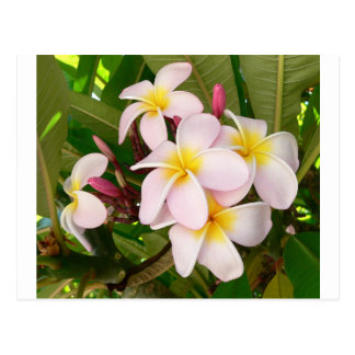 Aloha Hawaiian Frangipani Blossoms Bridal Shower Postcard