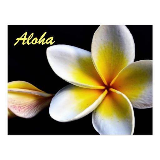 Aloha Hawaiian Frangipani Blossoms Plumerias Postcards