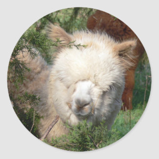 Alpaca Cria in Cedar Classic Round Sticker