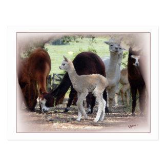 Alpaca Cria Postcard