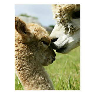 Alpaca Love Postcard
