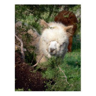 Alpaca Magnet Postcard
