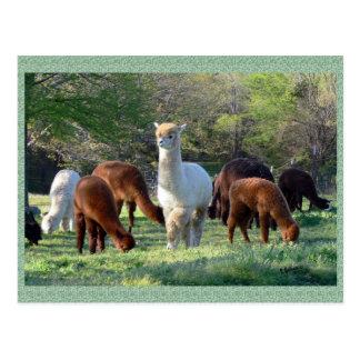 Alpaca Sleigh Belle Postcard