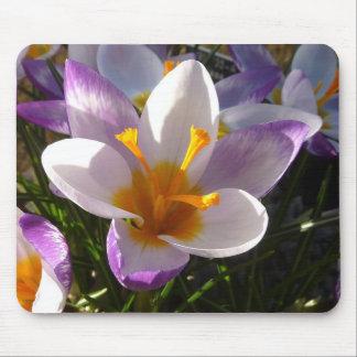 Alpine crocus close-up mouse pad