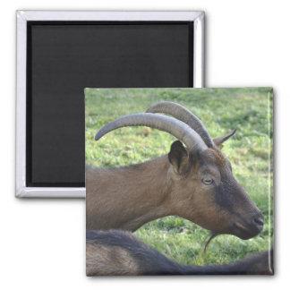 Alpine goat magnet