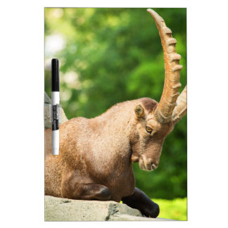 Alpine Goat Takes A Break From Climbing Dry Erase Whiteboard