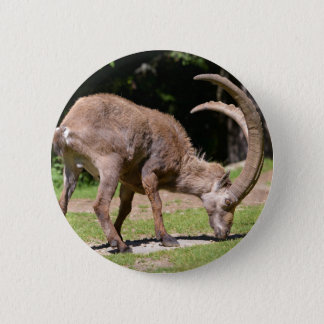 Alpine ibex grazing 2 inch round button