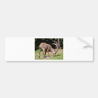 Alpine ibex grazing bumper sticker