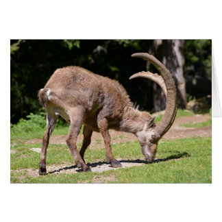 Alpine ibex grazing card