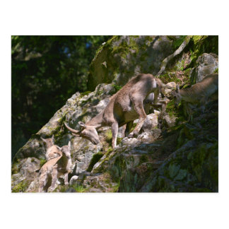 Alpine ibex in the mountain postcard