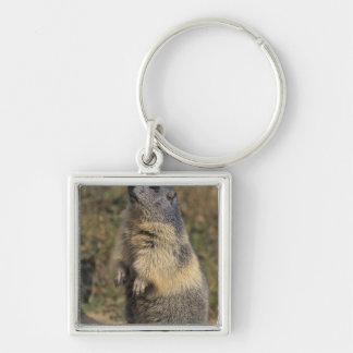 Alpine Marmot, Marmota marmota, adult standing Silver-Colored Square Keychain