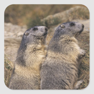 Alpine Marmot, Marmota marmota, adults, Saas Square Sticker