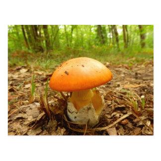 Amanita Caesarea Mushroom Postcard