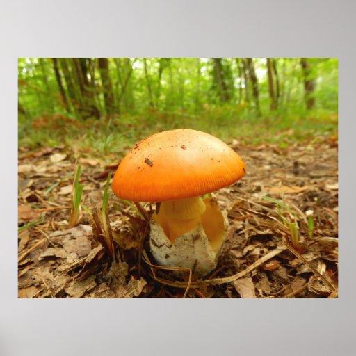 Amanita Caesarea Mushroom Poster
