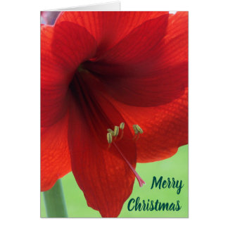 Amarylis Merry Christmas Greeting Cards with Flowe