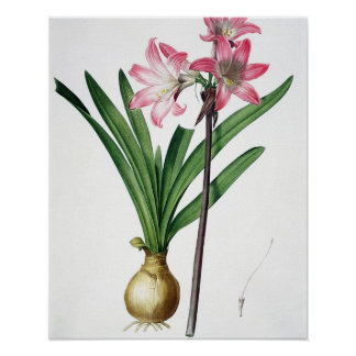Amaryllis Belladonna, from 'Les Liliacees', engrav Poster