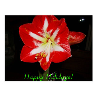 amaryllis, Happy Holidays! Postcard