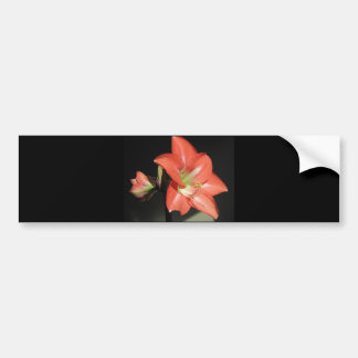 Amaryllis Hippeastrum Flowers Isolated On Black Bumper Sticker