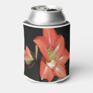 Amaryllis Hippeastrum Flowers Isolated On Black Can Cooler