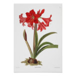 Amaryllis johnsoni poster
