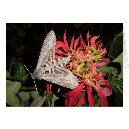 Amazing Moth Picture Taken in Zambia Card