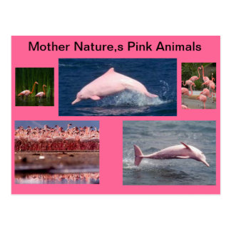 amazing pink display of dolphins and flamingos postcard