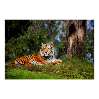 Amazing Tiger Canvas Print or Poster