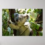 Amazingly cute baby koala in a tree poster