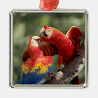 Amazon, Brazil. Pair of Scarlet Macaws (Ara Metal Ornament
