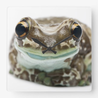 Amazon Milk Frog - Trachycephalus Resinifictrix Clock