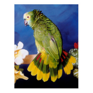 Amazon Parrot Postcard