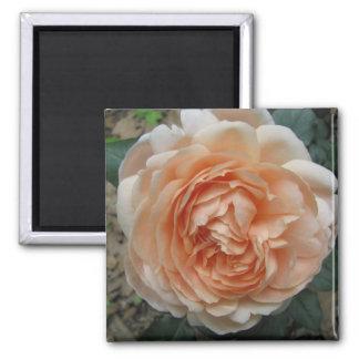 Ambridge Rose in Full Bloom Magnet