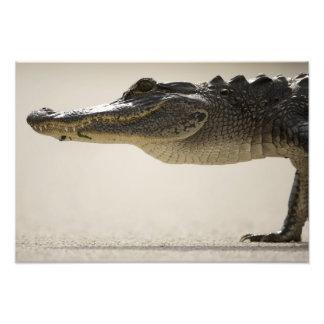 American Alligator, Alligator Photo Print