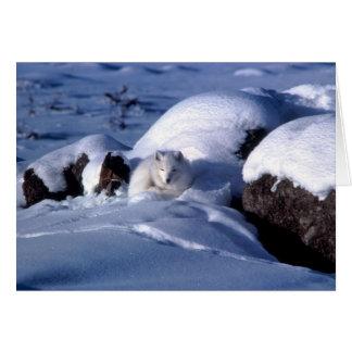 American Arctic Fox Card