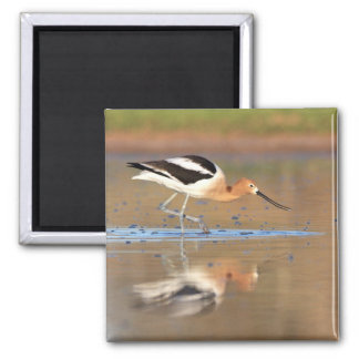 American Avocet in the ponds Square Magnet