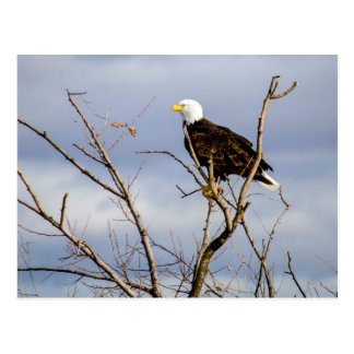 American Bald Eagle V Postcard