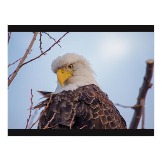 American Bald Eagle VII Postcard