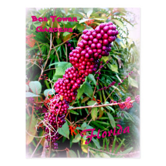 American Beautyberry at Bok Tower Gardens Florida Postcard