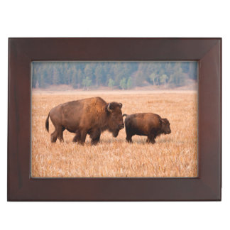 American Bison (Bison Bison) Cow And Calf Memory Boxes
