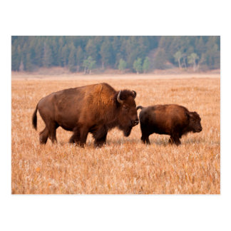 American Bison (Bison Bison) Cow And Calf Postcard
