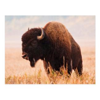 American Bison (Bison Bison) Herd In Teton 2 Postcard