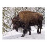 American Bison (Bison bison) Postcard