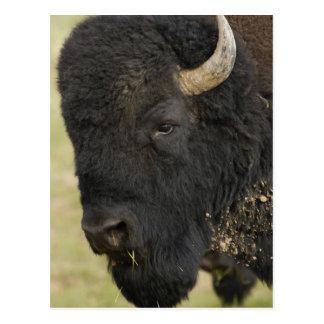 American Bison 'Buffalo' Bison bison), male, Postcard