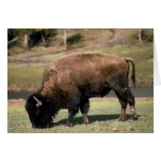 American Bison - Buffalo Card