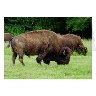American Bison Card