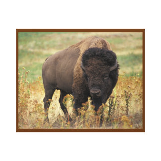 American Bison on the Range Canvas Print