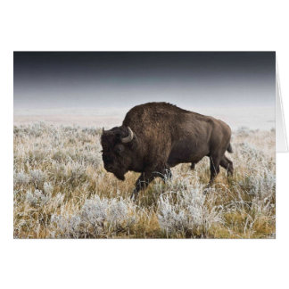 American Bison or Buffalo Card
