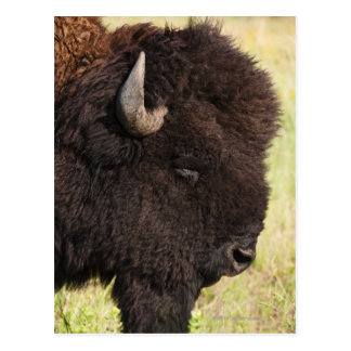 American Bison, South Dakota Postcard