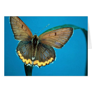 American copper butterfly greeting cards